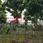 Cây ngọc lan thường trồng ở đâu?